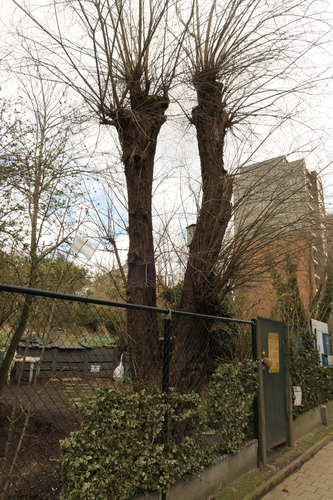 Saule blanc – Koekelberg, Avenue de la Basilique –  11 Mars 2021