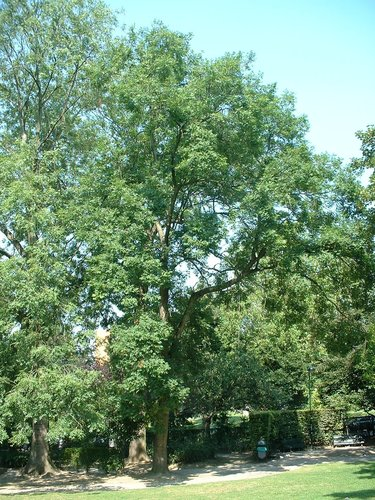 Frêne commun – Berchem-Sainte-Agathe, Parc Pirsoul, parc –  04 Août 2003