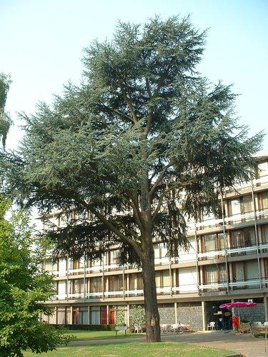 Cèdre bleu de l'Atlas – Berchem-Sainte-Agathe, Avenue du Roi Albert, 88 –  05 Août 2003