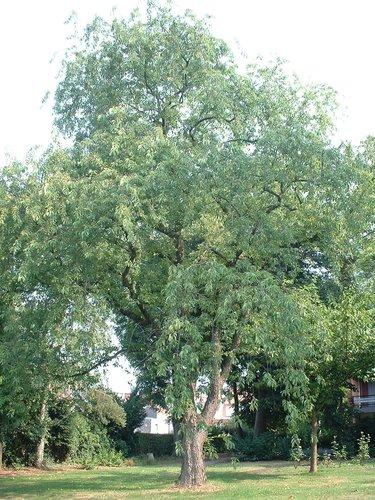 Cerisier à grappes – Berchem-Sainte-Agathe, Avenue du Roi Albert, 88 –  05 Août 2003