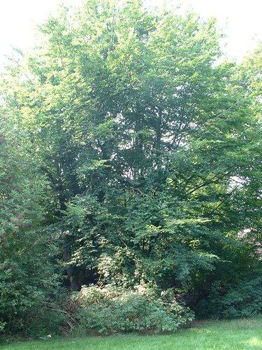 Hêtre d'Europe – Berchem-Sainte-Agathe, Sentier du Broek –  05 Août 2003