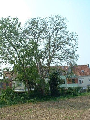 Noyer royal – Berchem-Sainte-Agathe, Rue des Combattants –  08 Août 2003