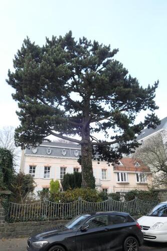 Pin noir – Berchem-Sainte-Agathe, Rue Openveld, 90-92 –  03 Décembre 2019