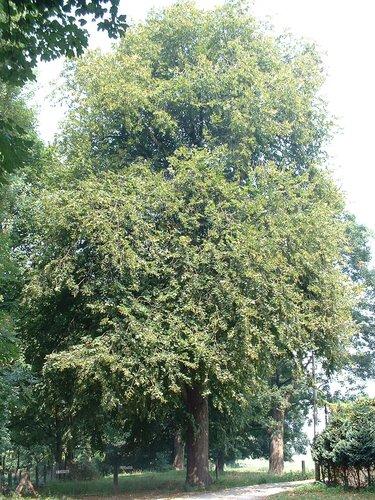 Tilleul à larges feuilles – Berchem-Sainte-Agathe, Zavelenberg, parc –  08 Août 2003