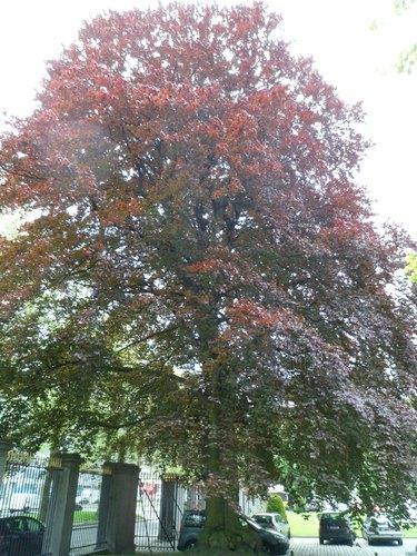 Rode beuk – Brussel, Tuin van het Academienpaleis –  15 Mei 2012