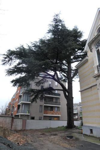 Cèdre du Liban – Berchem-Sainte-Agathe, Avenue Charles-Quint, 580 –  11 Décembre 2019