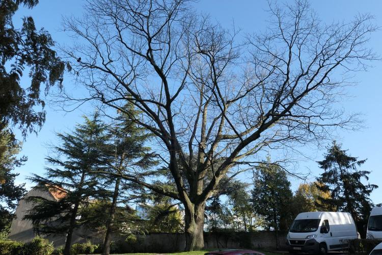 Chêne rouge d'Amérique – Berchem-Sainte-Agathe, Parc Jean Monnet, Parc Jean Monnet, 2001-2124 –  08 Novembre 2019