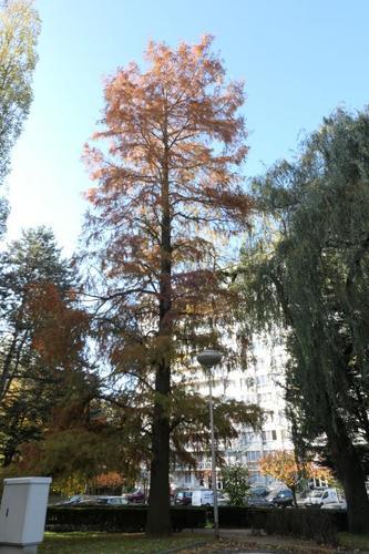 Cyprès chauve de Louisiane – Berchem-Sainte-Agathe, Parc Jean Monnet, Rue des Châlets –  08 Novembre 2019
