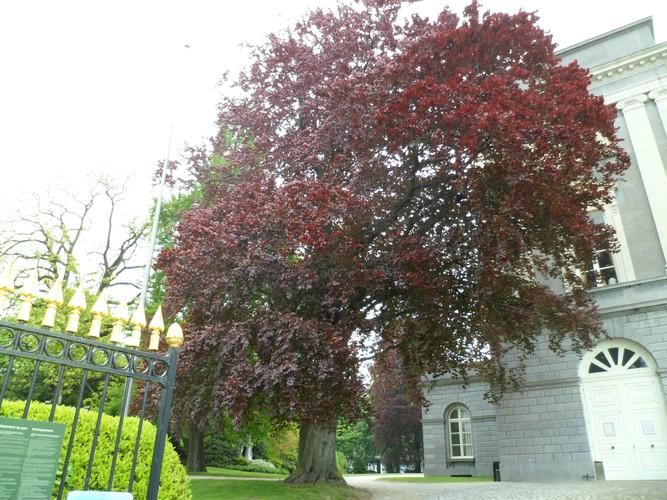 Hêtre pourpre – Bruxelles, Jardin du Palais des Académies –  15 Mai 2012