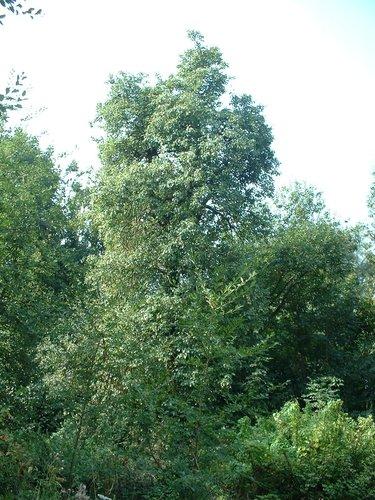 Poirier cultivé – Berchem-Sainte-Agathe, Rue de Dilbeek –  21 Août 2003