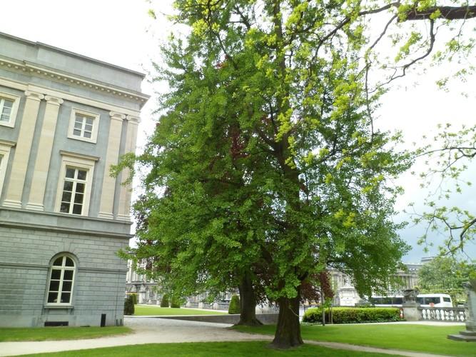 Arbre aux quarante écus – Bruxelles, Jardin du Palais des Académies –  15 Mai 2012