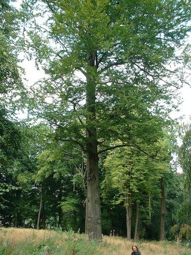 Beuk – Watermaal-Bosvoorde, Wolvindreef, 6 –  28 August 2003