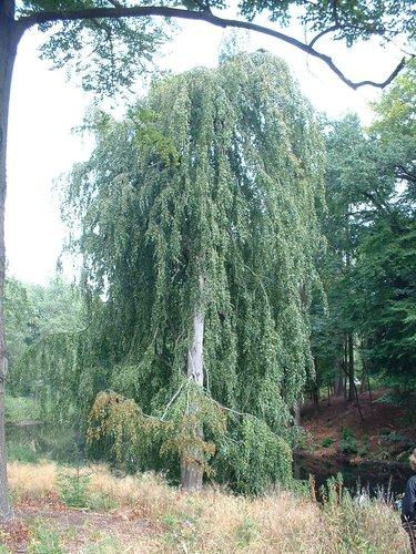 Hêtre pleureur – Watermael-Boitsfort, Drève de la Louve, 6 –  28 Août 2003