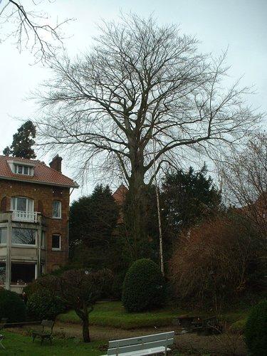 Hêtre pourpre – Uccle, Avenue Circulaire, 70 –  09 Janvier 2004