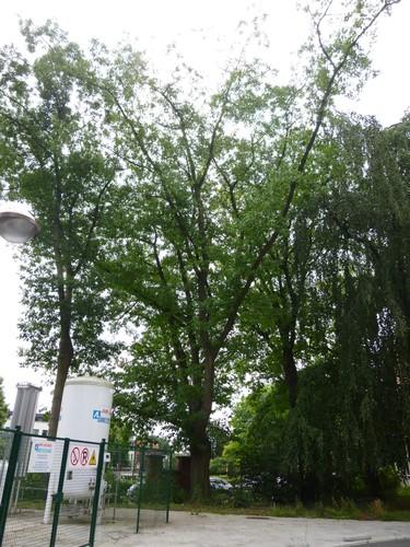 Chêne rouge d'Amérique – Bruxelles, Site de l'Hôpital Brugmann , Avenue Ernest Masoin, 4 –  14 Juillet 2014