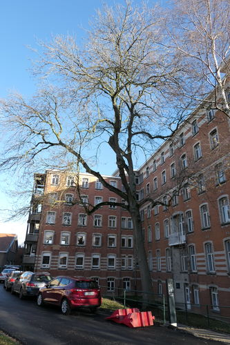 Frêne commun – Bruxelles, Site de l'Hôpital Brugmann , Avenue Ernest Masoin, 4 –  10 Décembre 2018