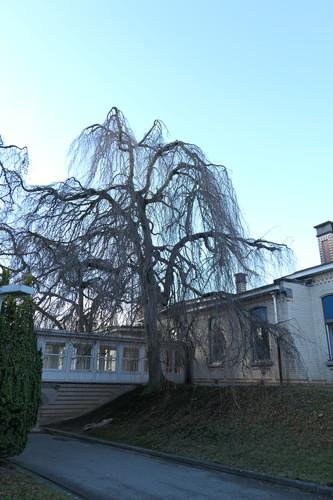Hêtre pleureur – Bruxelles, Site de l'Hôpital Brugmann , Avenue Ernest Masoin, 4 –  10 Décembre 2018