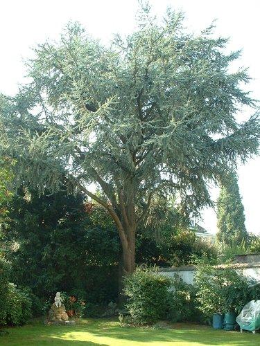 Cèdre bleu de l'Atlas – Berchem-Sainte-Agathe, Avenue René Comhaire, 115 –  08 Septembre 2003