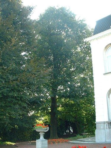 Hêtre pourpre – Berchem-Sainte-Agathe, Avenue René Comhaire, 59 –  08 Septembre 2003