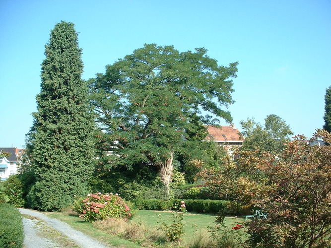 Robinier faux-acacia – Berchem-Sainte-Agathe, Avenue Gisseleire Versé, 17 –  08 Septembre 2003