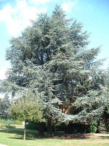 Cèdre bleu de l'Atlas – Berchem-Sainte-Agathe, Avenue de la Basilique, 14 –  08 Septembre 2003
