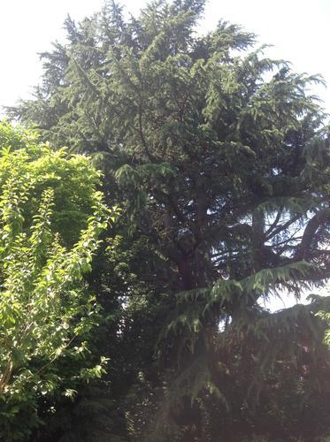 Cèdre de l'Himalaya – Berchem-Sainte-Agathe, Avenue de la Basilique, 14 –  25 Juillet 2013