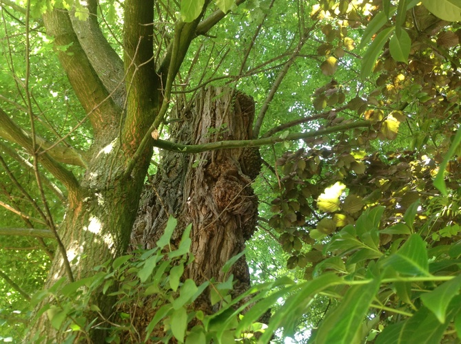 Robinier faux-acacia – Berchem-Sainte-Agathe, Avenue de la Basilique, 14 –  25 Juillet 2013