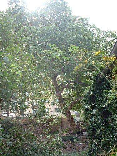 Noyer royal – Ganshoren, Rue Jean De Greef –  16 Septembre 2003