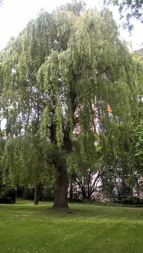 Saule pleureur – Ganshoren, Avenue Van Overbeke –  05 Mai 2020