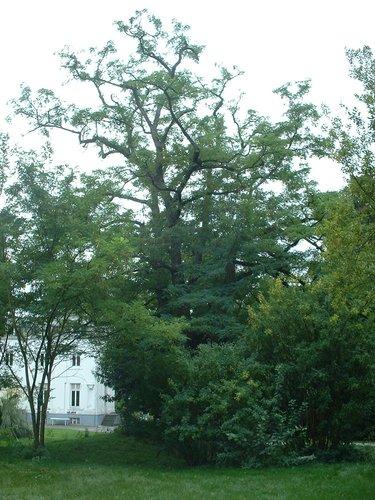 Robinier faux-acacia – Jette, Parc du Sacré-Cœur de Jette, Avenue du Sacré-Coeur, 8 –  22 Septembre 2003