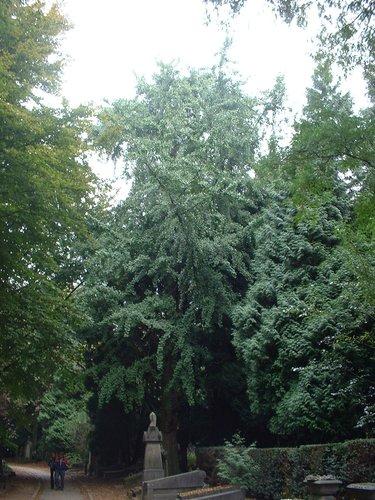 Japanse notenboom – Evere, Begraafplaats van Brussel, cimetière –  26 September 2003