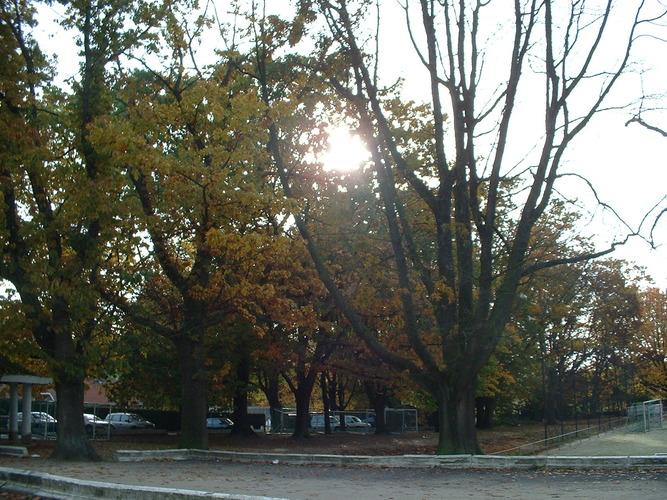 Chêne rouge d'Amérique – Anderlecht, Rue de Neerpede –  13 Octobre 2003