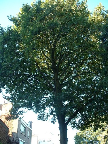 Gewone esdoorn – Elsene, Renbaanlaan, 57 –  15 Oktober 2003