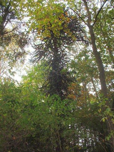 Apenboom, slangenden – Vorst, Jacques Brel park, Kersbeeklaan –  21 Oktober 2003