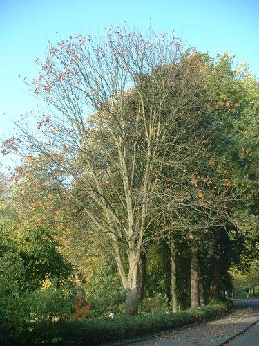 Marronnier à pétioles rouges – Auderghem, Parc Seny, parc –  22 Octobre 2003