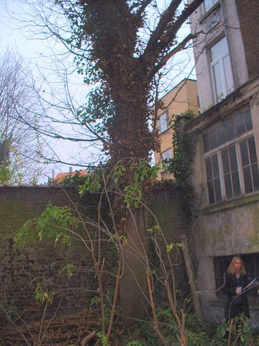 Erable sycomore – Etterbeek, Avenue Nouvelle, 16 –  04 Décembre 2003