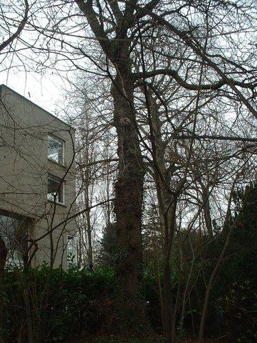 Marronnier commun – Uccle, Rue Joseph Bens, 43-45 –  11 Décembre 2003