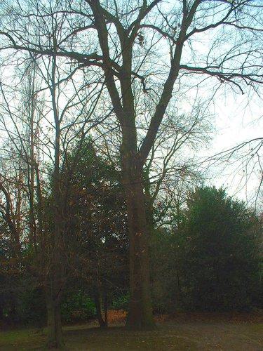 Chêne pédonculé – Uccle, Rue Joseph Bens, 43-45 –  11 Décembre 2003