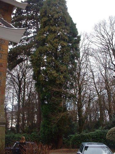 Calocedrus decurrens 'Columnaris' – Uccle, Avenue Circulaire, 70 –  09 Janvier 2004