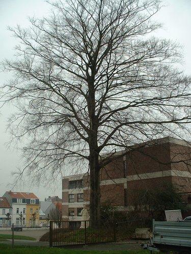 Hêtre pourpre – Anderlecht, Chaussée de Ninove, 548 –  13 Février 2004