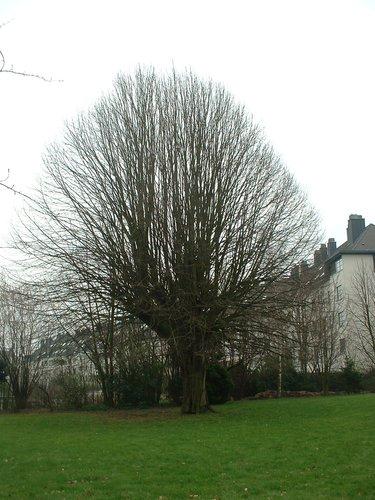 Tilleul argenté – Anderlecht, Chaussée de Ninove, 548 –  13 Février 2004