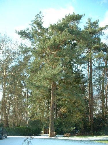Pin sylvestre – Uccle, Avenue du Prince d'Orange, 32 –  27 Février 2004