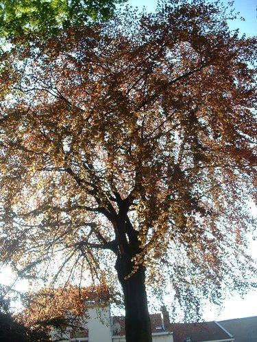 Hêtre pourpre – Saint-Gilles, Chaussée de Charleroi, 279 –  23 Avril 2004