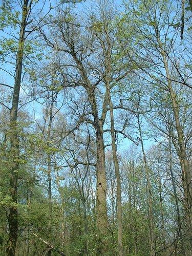 Chêne pédonculé – Auderghem, Forêt de Soignes, Chaussée de Tervuren –  15 Avril 2004