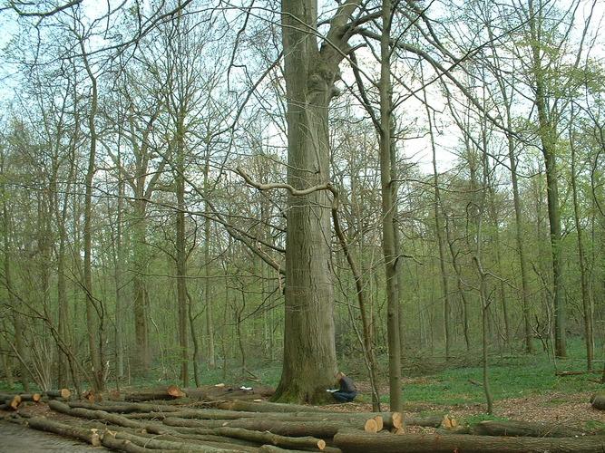 Hêtre d'Europe – Auderghem, Forêt de Soignes, Chaussée de Tervuren –  15 Avril 2004