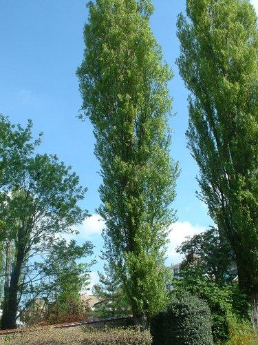 Peuplier d'Italie – Forest, Avenue Kersbeek, 67 –  23 Avril 2004