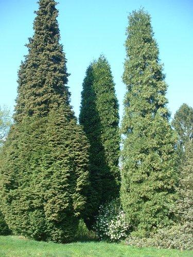 Calocedrus decurrens cv. 'Aureovariegata' – Uccle, Avenue des Sorbiers, 6 –  23 Avril 2004