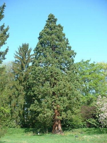 Sequoia géant – Uccle, Avenue des Sorbiers, 6 –  23 Avril 2004