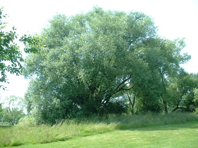 Saule blanc – Molenbeek-Saint-Jean, Parc du Scheutbos, parc –  07 Juin 2004