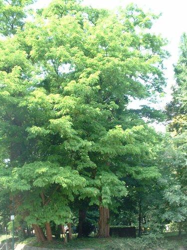 Robinier faux-acacia – Molenbeek-Saint-Jean, Parc Hauwaert, parc –  09 Juin 2004